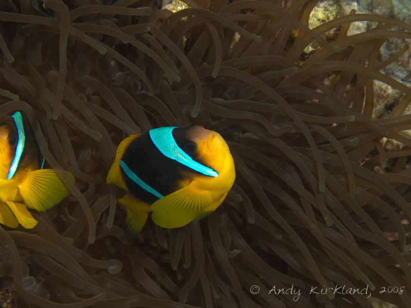 Photo at Lighthouse Left:  Twoband anemonefish