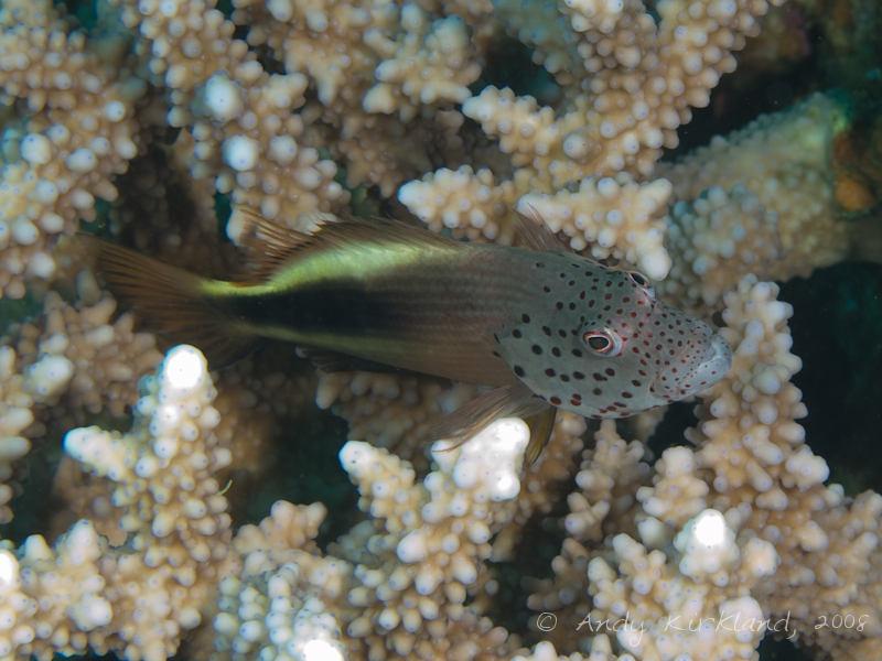 Photo at Moray Garden - South:  Blackside hawkfish