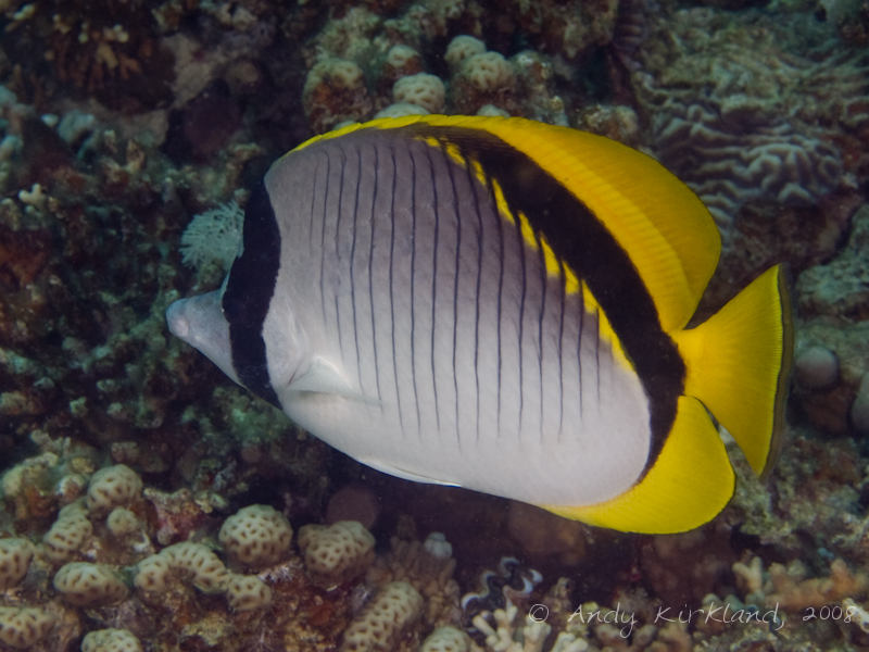 Photo at Moray Garden - South:  Lined butterflyfish