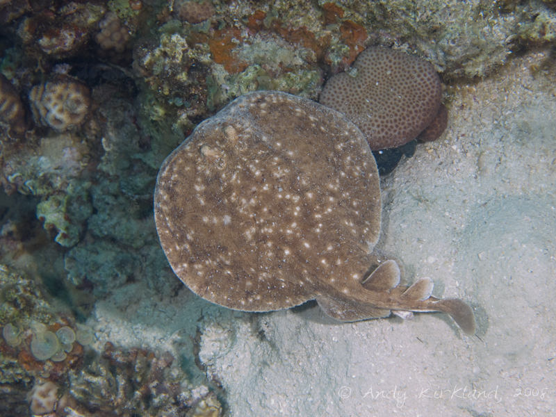 Photo at Moray Garden - South:  Marbled electric ray