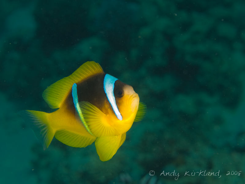 Photo at Moray Garden - South:  Twoband anemonefish