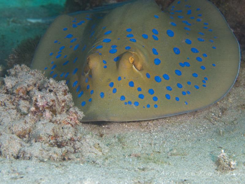 Photo at Moray Garden - South:  Bluespotted ribbontail ray