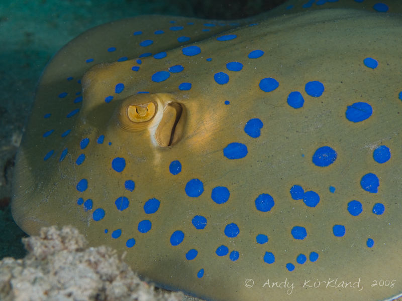 Photo at Moray Garden - South:  Bluespotted ribbontail ray