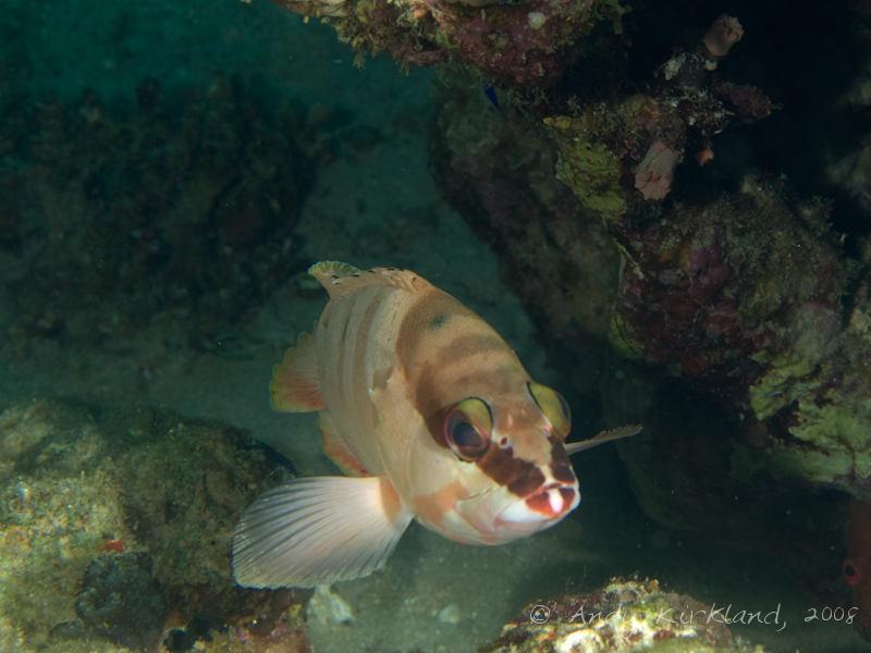 Photo at Moray Garden - South:  Blacktip grouper