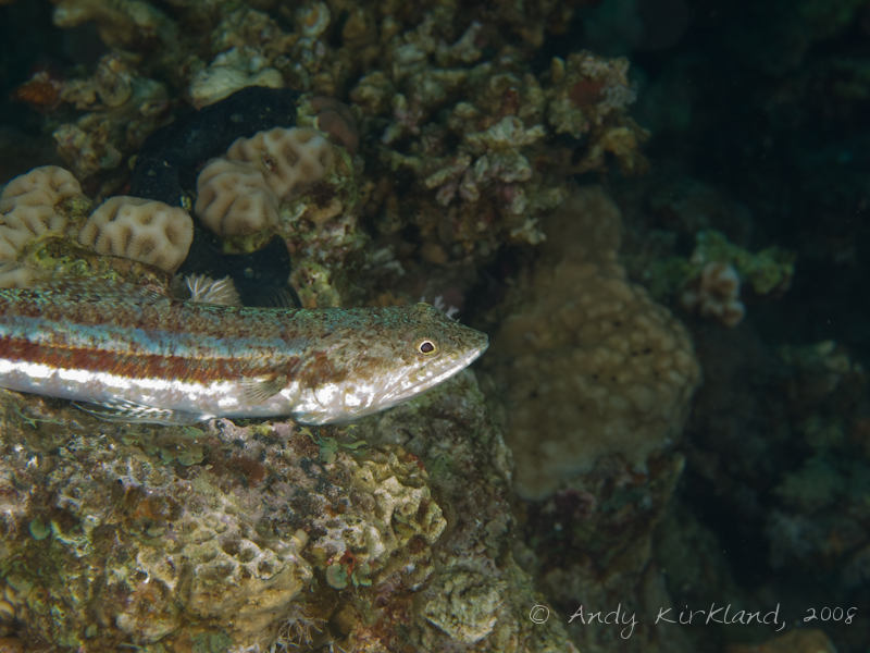 Photo at Moray Garden - North:  Sand lizardfish