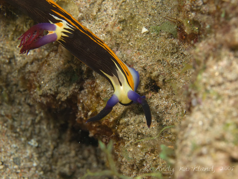 Photo at Moray Garden - North:  Red Sea nembrotha