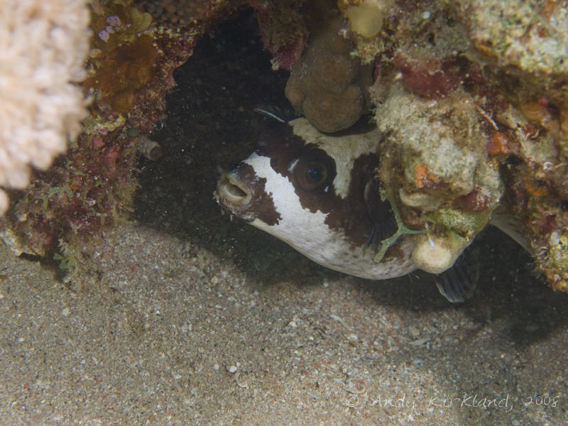 Photo at Moray Garden - North:  Masked puffer