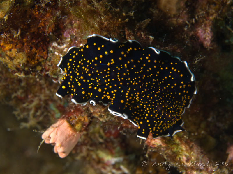 Photo at Moray Garden - North:  Gold-dotted flatworm