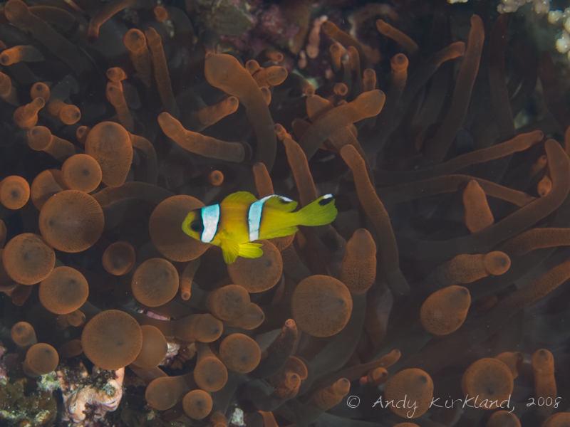 Photo at Moray Garden - North:  Twoband anemonefish