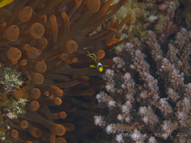 Photo at Moray Garden - North:  Twoband anemonefish