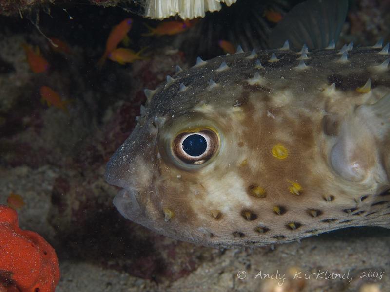 Photo at Moray Garden - North:  Spotbase burrfish