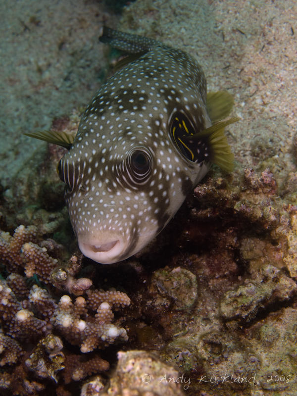 Photo at Moray Garden - North:  White-spotted puffer