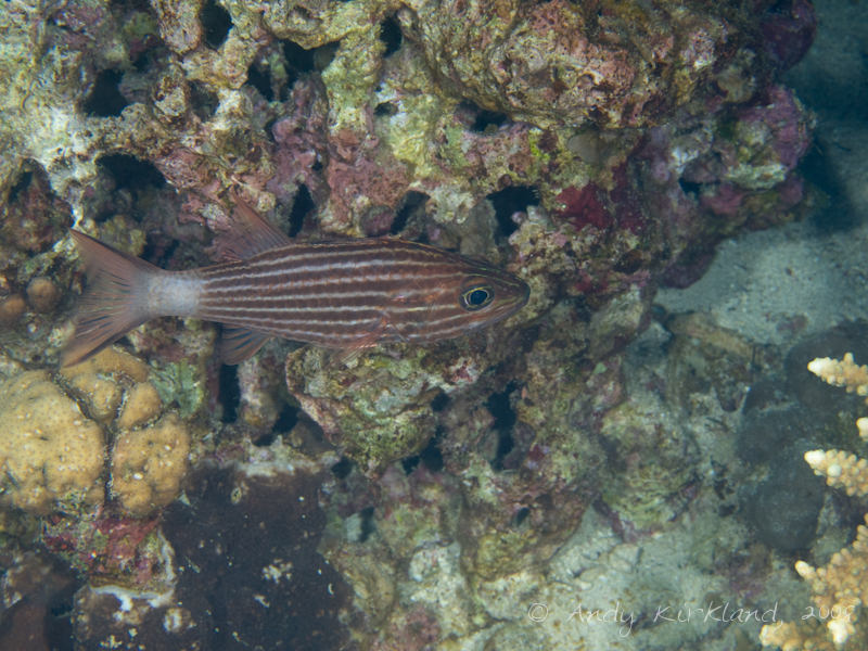 Photo at Moray Garden - North:  Large toothed cardinalfish