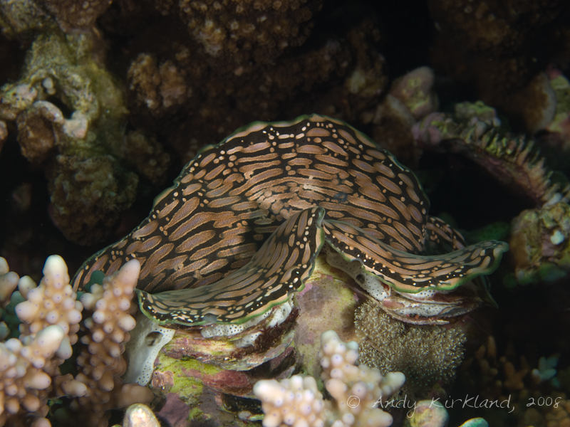 Photo at Moray Garden - North:  Giant Clam