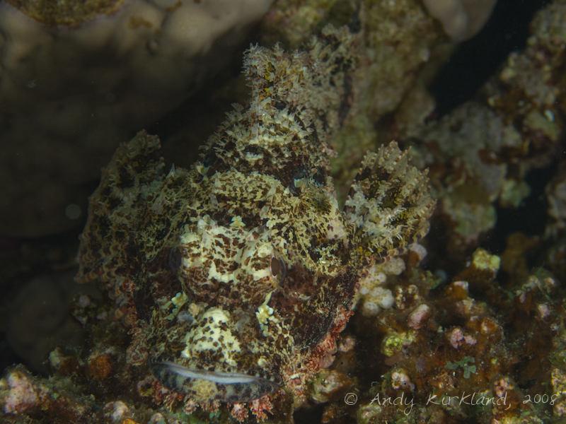 Photo at Moray Garden - North:  Bearded scorpionfish