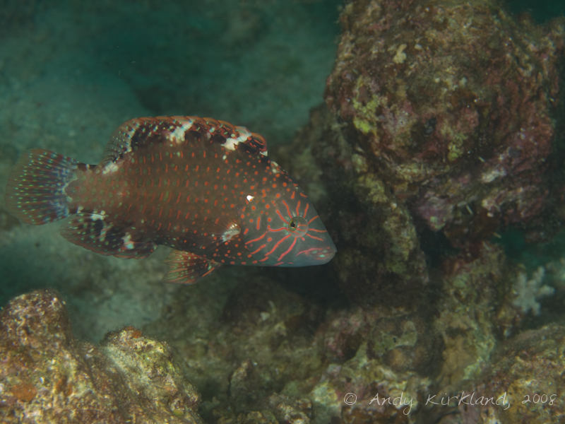 Photo at Moray Garden - North:  Abudjubbe wrasse