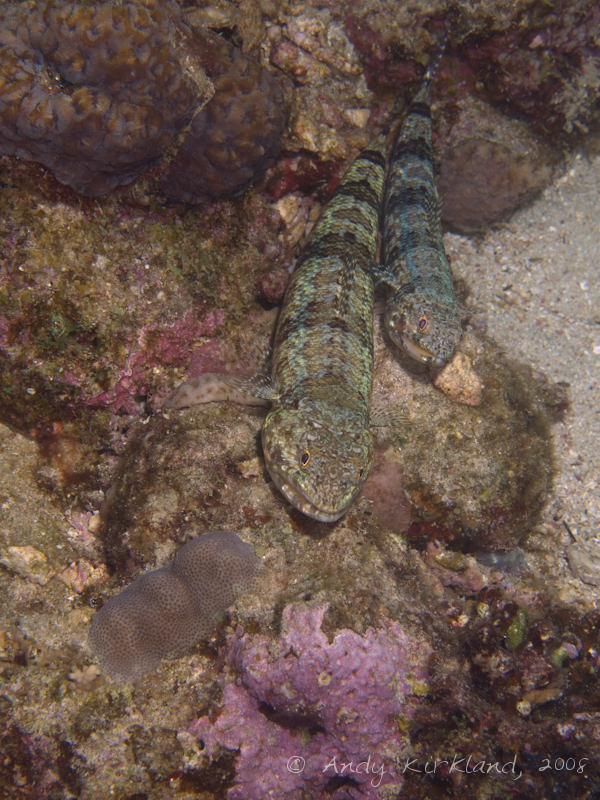 Photo at Moray Garden - North:  Sand lizardfish