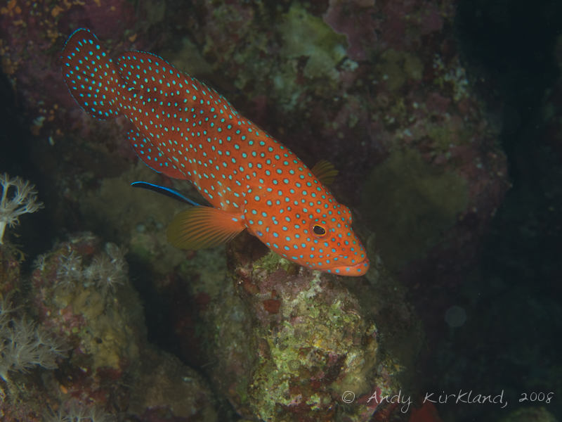 Photo at Moray Garden - North:  Bluestreak cleaner wrasse,Coral hind