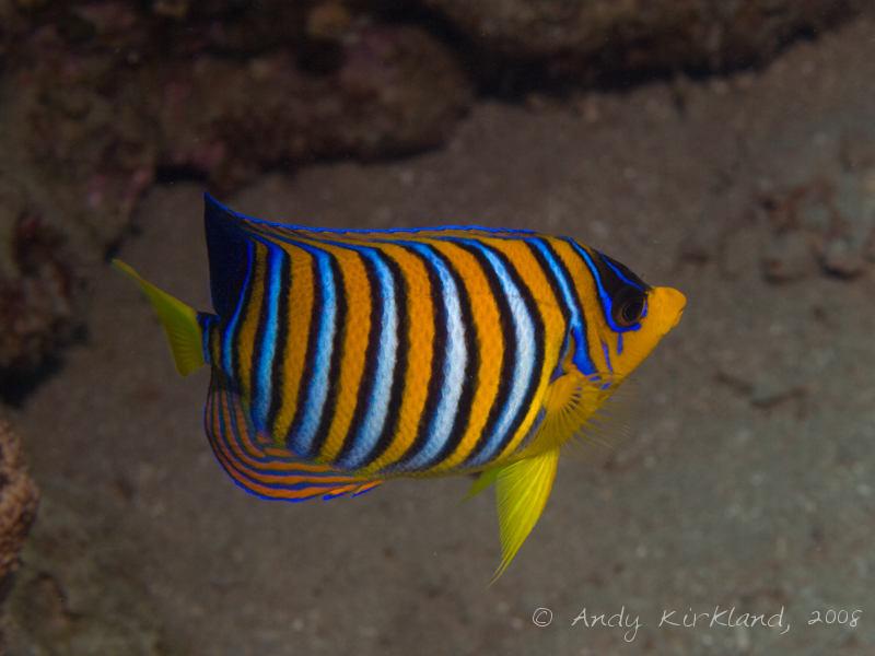 Photo at Golden Blocks:  Royal angelfish