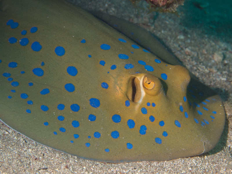 Photo at Golden Blocks:  Bluespotted ribbontail ray