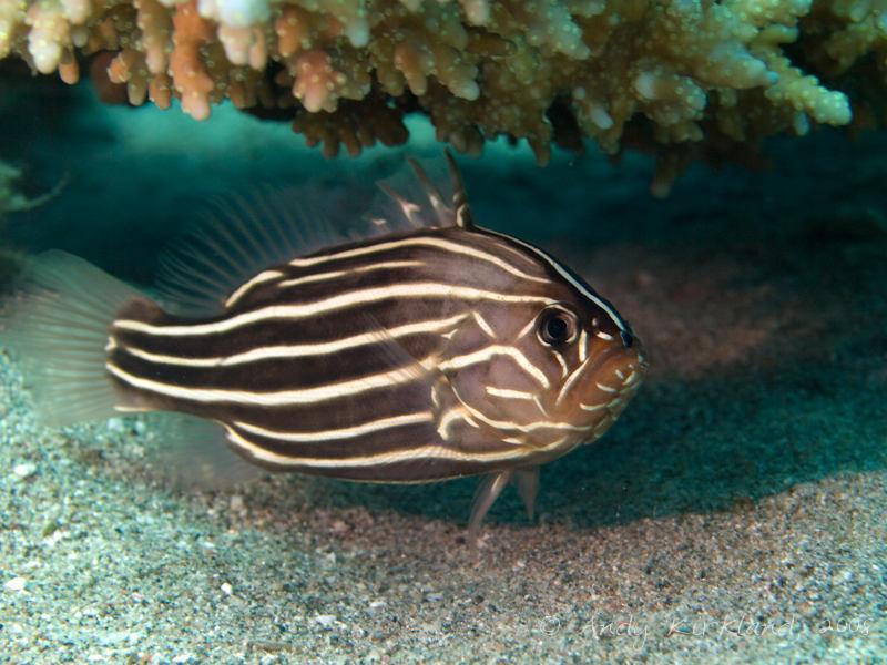 Photo at Gabr-el-Bint:  Sixline soapfish