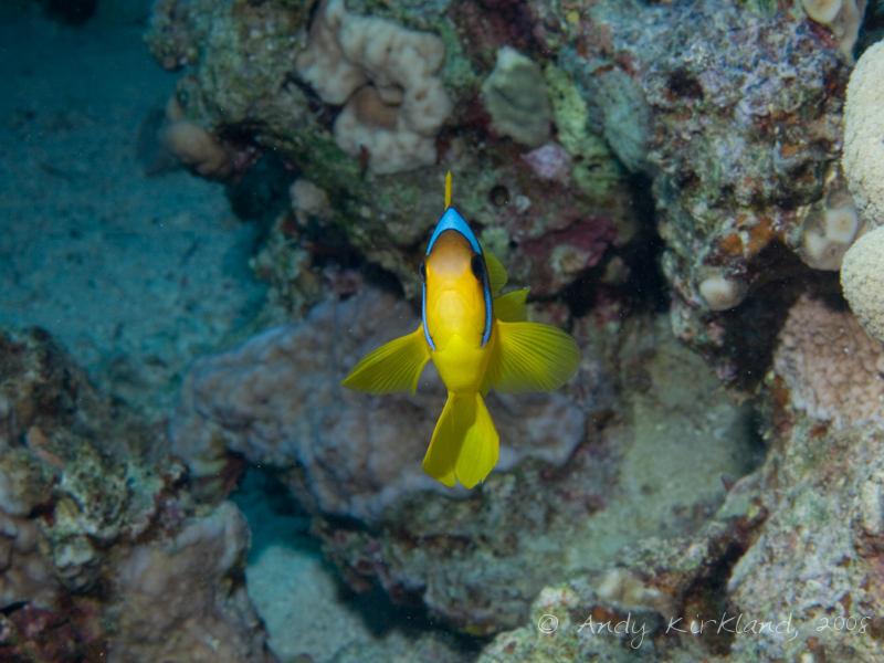 Photo at Rick's Reef:  Twoband anemonefish