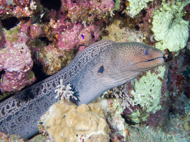 Photo at Sha'ab Ramadan:  Giant moray