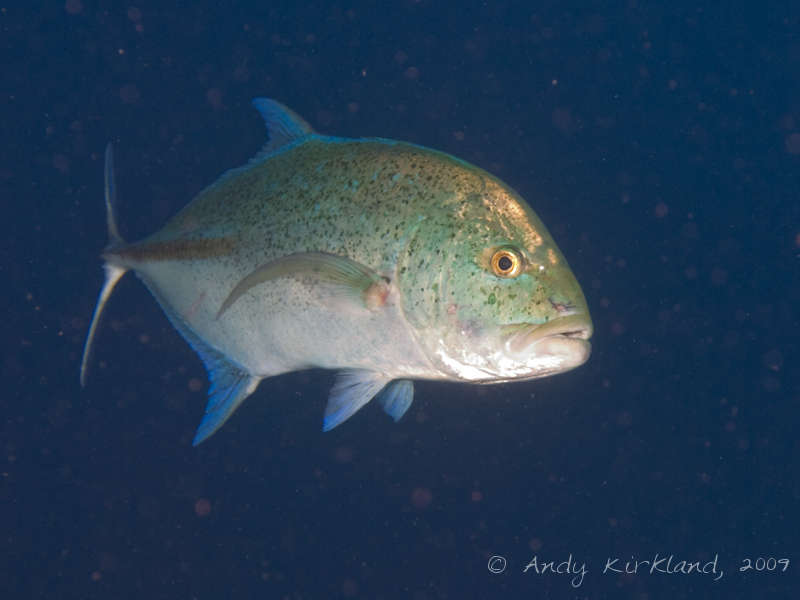 Photo at Sha'ab Ramadan:  Bluefin trevally