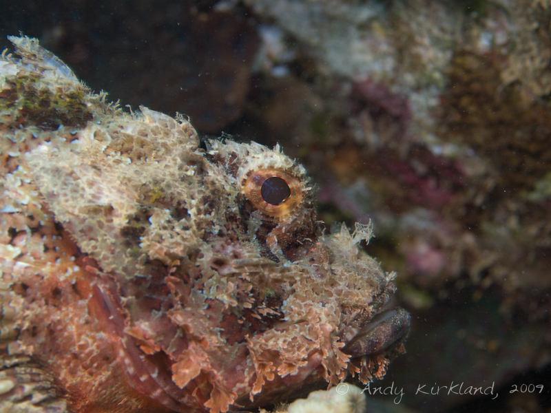 Photo at Pipeline:  Bearded scorpionfish