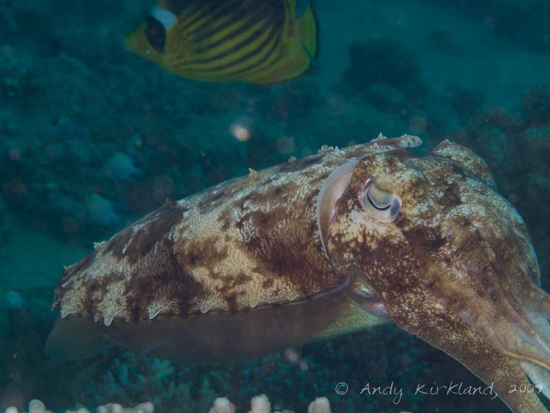 Photo at Pipeline:  Pharaoh cuttlefish