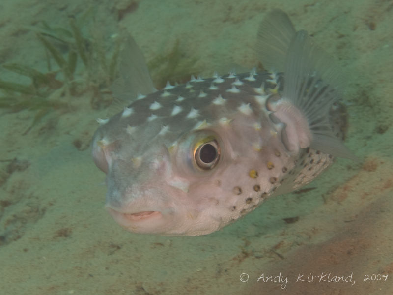 Photo at Pipeline:  Spotbase burrfish