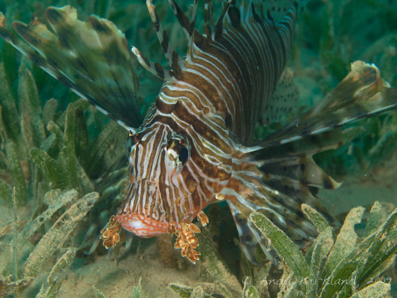 Photo at Abou Lou Lou:  Devil firefish