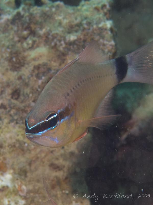 Photo at Abou Lou Lou:  Cardinalfish