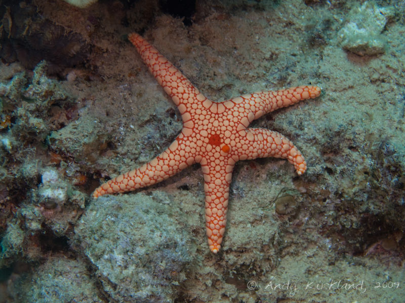 Photo at Outside of Hilton:  Pebbled Sea star