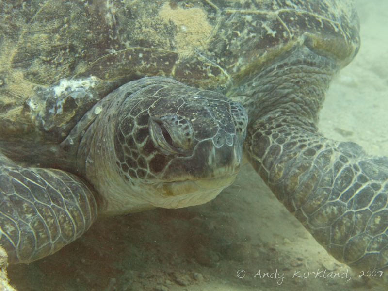 Photo at Outside of Hilton:  Green Turtle