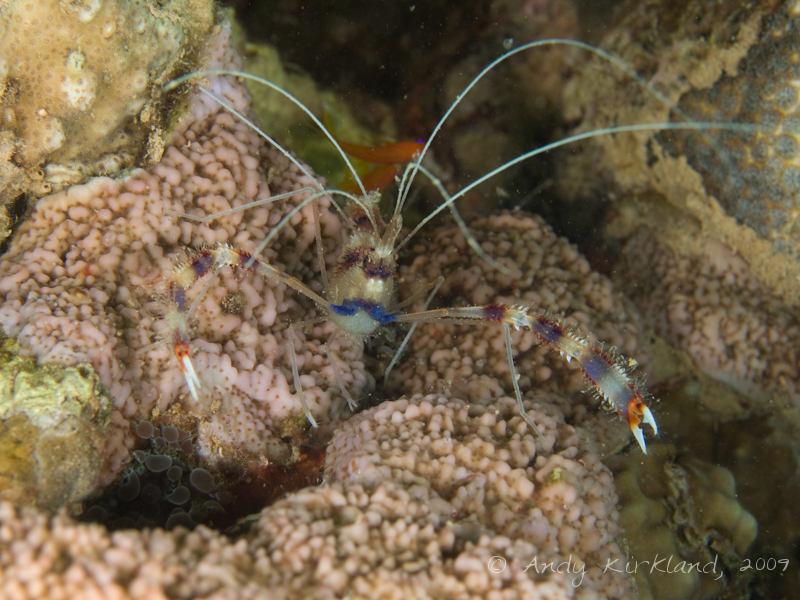 Photo at Abou Lou Lou:  Boxer shrimp