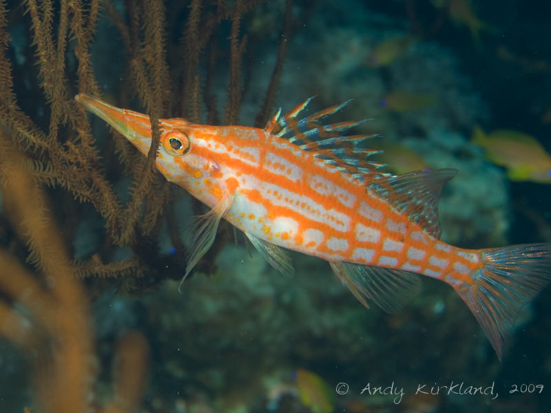 Photo at Ras Mamlach:  Longnose hawkfish