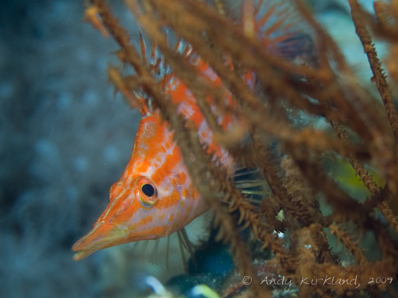 Photo at Ras Mamlach:  Longnose hawkfish
