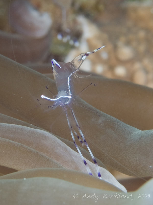 Photo at Ras Mamlach:  Long-arm cleaner shrimp
