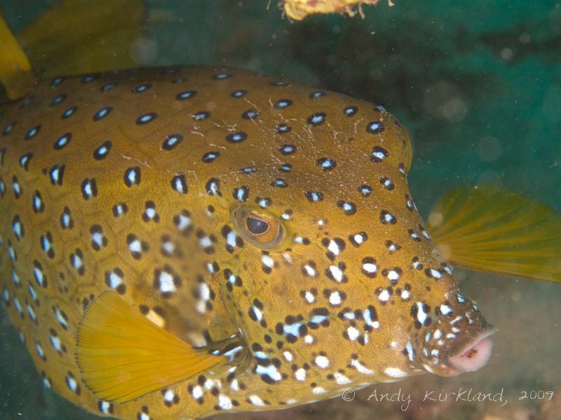 Photo at Abou Lou Lou:  Yellow boxfish