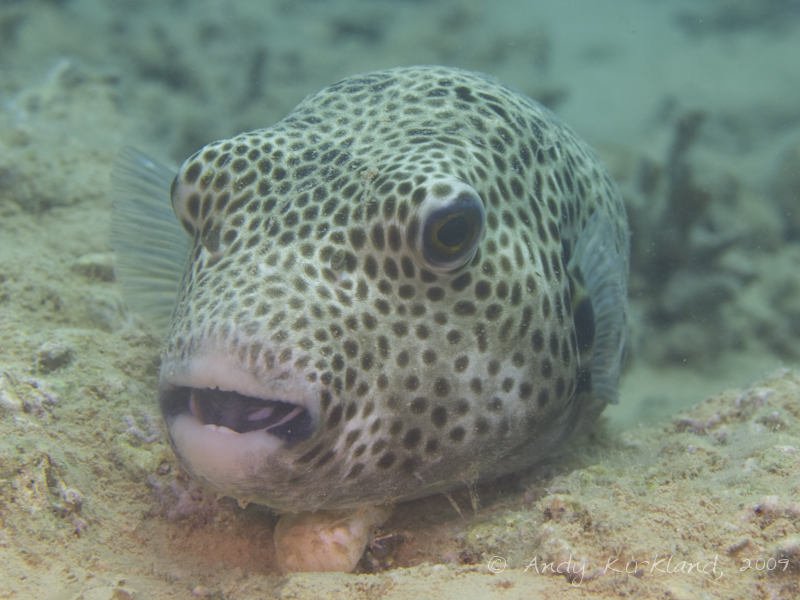 Photo at Abou Lou Lou:  Starry toadfish