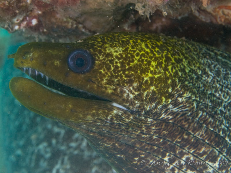 Photo at Abou Lou Lou:  Undulated moray