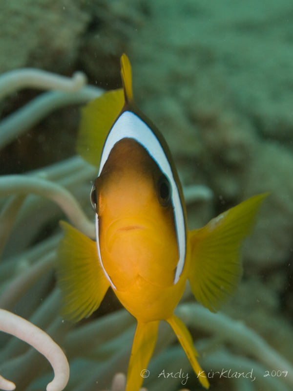 Photo at Abou Lou Lou:  Twoband anemonefish