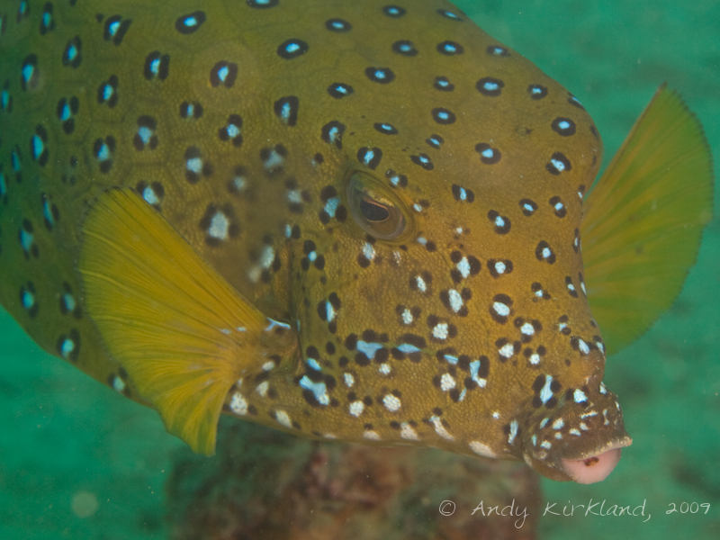 Photo at Abou Lou Lou:  Yellow boxfish