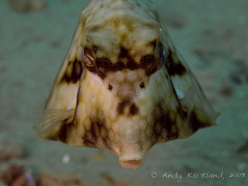 Photo at Abou Lou Lou:  Humpback turretfish