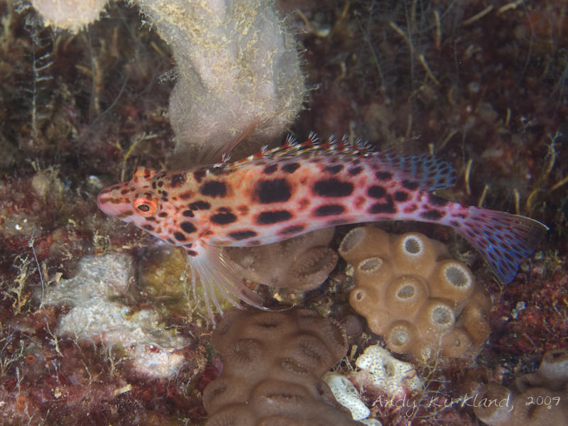 Photo at Pipeline:  Coral hawkfish