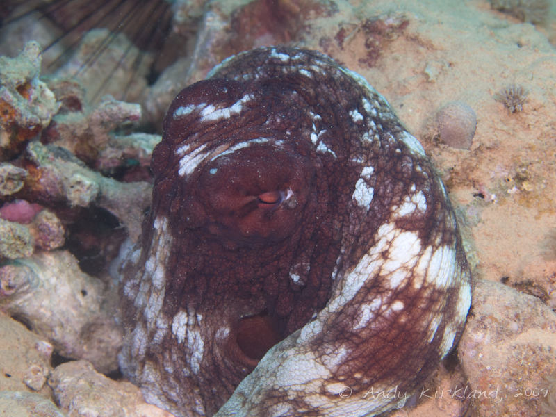 Photo at Abou Lou Lou:  Reef octopus