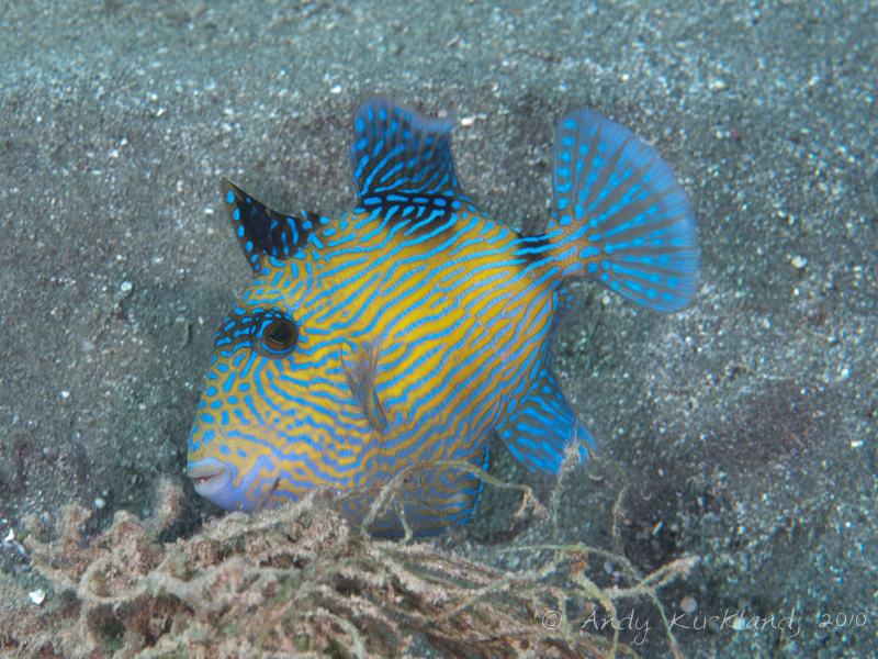 Photo at Marsa Abu Dabab:  Yellow-spotted triggerfish