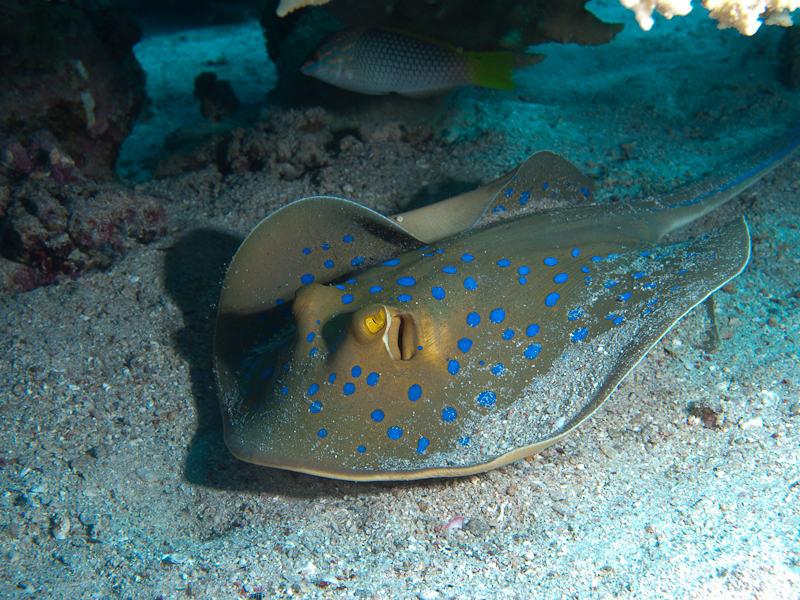 Photo at Marsa Abu Dabab:  Bluespotted ribbontail ray