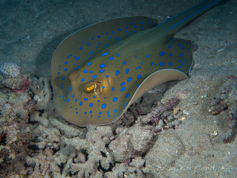 Photo at Marsa Abu Dabab:  Bluespotted ribbontail ray